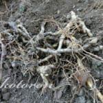 ミョウガの移植準備。掘り起こし
