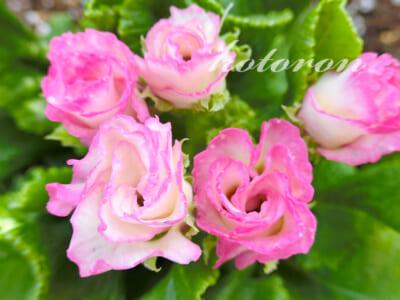 バラ咲きジュリアンを植えました